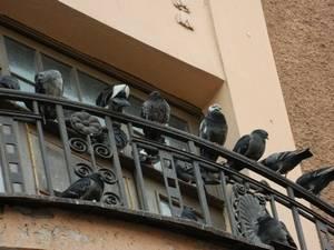 Как избавиться от голубей на балконе с помощью подручных средств