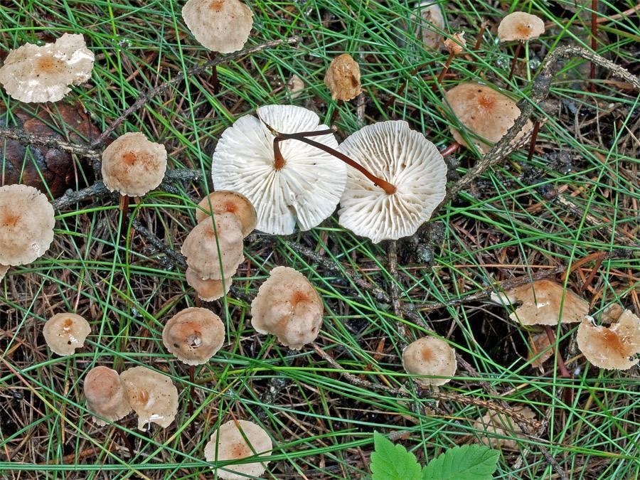 Чесночник обыкновенный (mycetinis scorodonius) –  грибы сибири