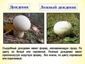 Грибы дождевики: характеристика видов и лечебные свойства