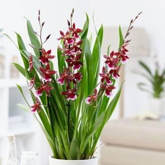 Орхидея камбрия: описание сорта и уход в домашних условиях, фото посадки и пересадки cambria и размножения, возможные болезни. камбрия микс