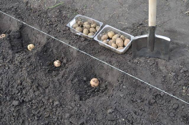 Белорусский картофель сорта уладар — отличный вкус и простота выращивания