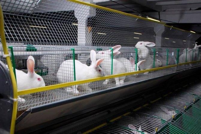 Разведение кроликов как бизнес: выращивание декоративных или на мясо