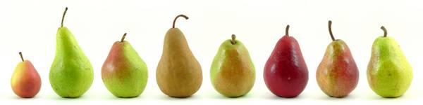 Поздние сорта груш: 10 деревьев с вкусными плодами