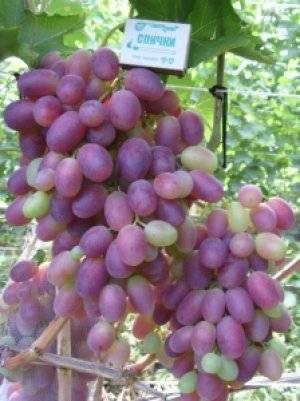 Описание сорта винограда «ризамат» с фото и отзывами