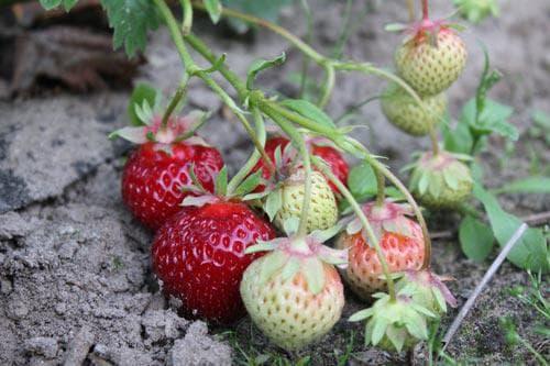 Клубника полка (polka, полька): описание сорта садовой земляники, отзывы про викторию
