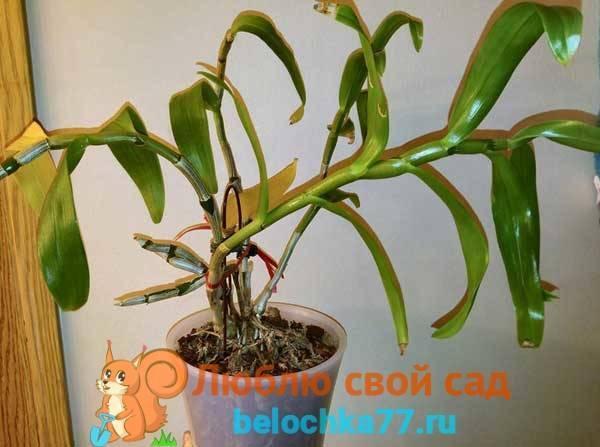 Орхидея дендробиум отцвел – что делать дальше