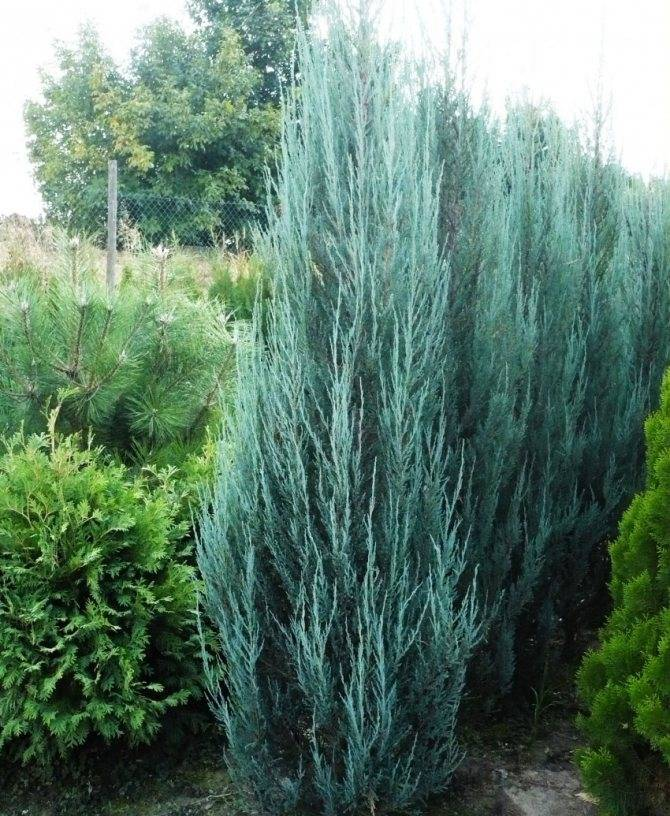 Можжевельник скальный (горный, juniperus scopulorum): фото, описание, сорта, размеры, посадка и уход, размножение