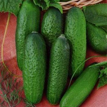 Огурец коринна f1: отзывы и фото, описание сорта и агротехника, посадка и уход