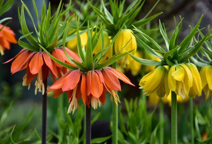 Цветок рябчик – описание, посадка и уход, фото рябчиков, видео советы