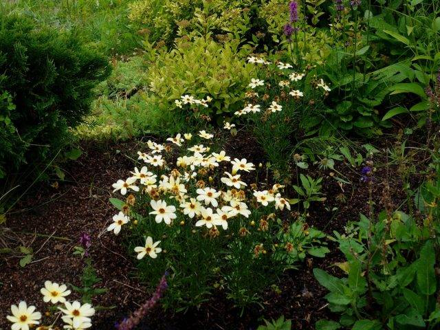 Кореопсис многолетний: виды, посадка и уход, фото