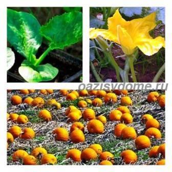 Рассада тыквы: когда сажать тыкву на рассаду, посадка, выращивание