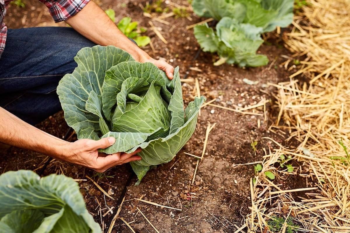 Чем обработать капусту от вредителей народными средствами