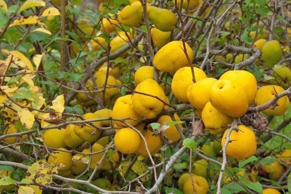 Применение айвы японской — польза и вред плодов для здоровья
