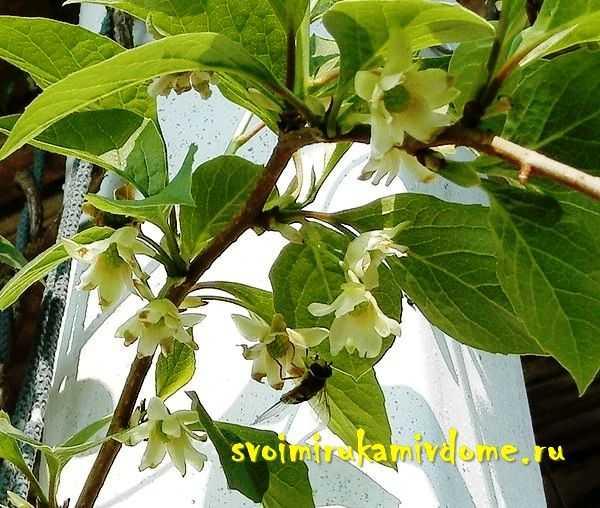 Лимонник китайский: секреты выращивания и лечебные свойства плодов садового растения (95 фото)