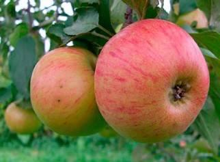Яблоня спартан: описание сорта, фото, отзывы, опылители для нее, характеристика