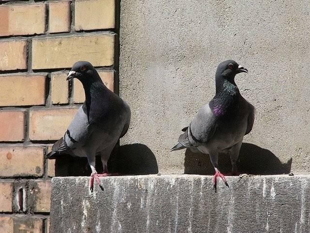 Как избавиться от голубей на балконе: методы отпугивания птиц