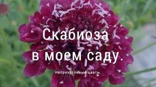Нежная и трогательная скабиоза – цветок невесты