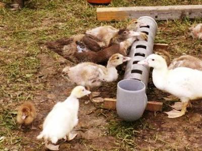 Кормушка для гусей своими руками: пошаговая инструкция