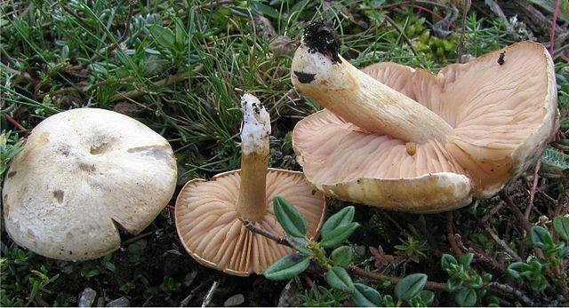 Колосовик (белый гриб березовый)