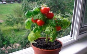 Характеристика карликовых сортов томатов