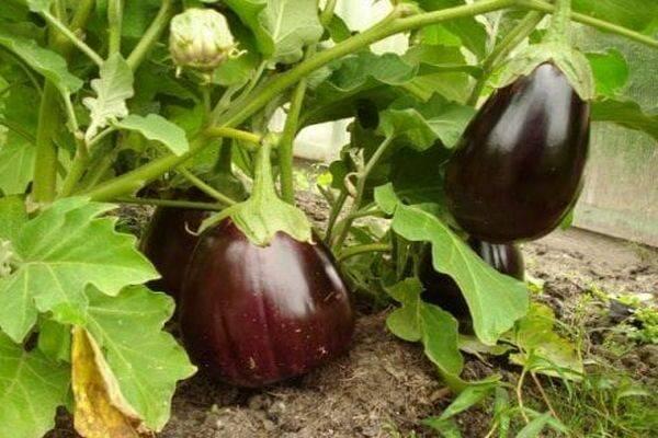 Почему дачникам нравится сорт баклажана «черный красавец» и как его выращивать