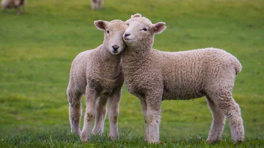 Рацион и нормы питания овец, ягнят и баранов