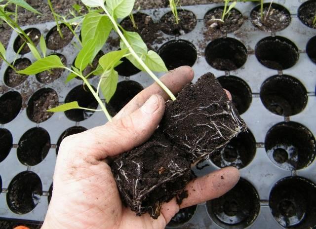 Выращивание рассады перца в торфяных таблетках — selok.info