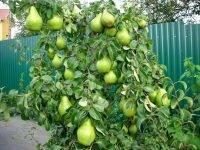 Не плодоносит груша: причины, повышаем урожайность