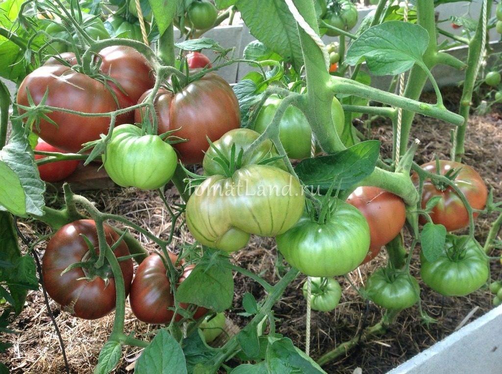 Томат сорта «черный мавр»: характеристики и советы по выращиванию