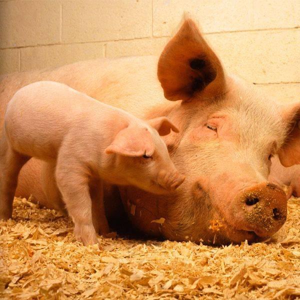 Как правильно утилизировать свиной навоз и куриный помет