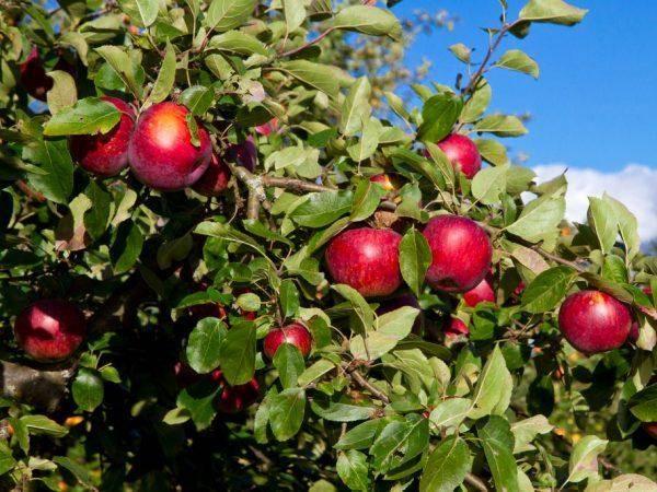 Сорт яблони Сябрына