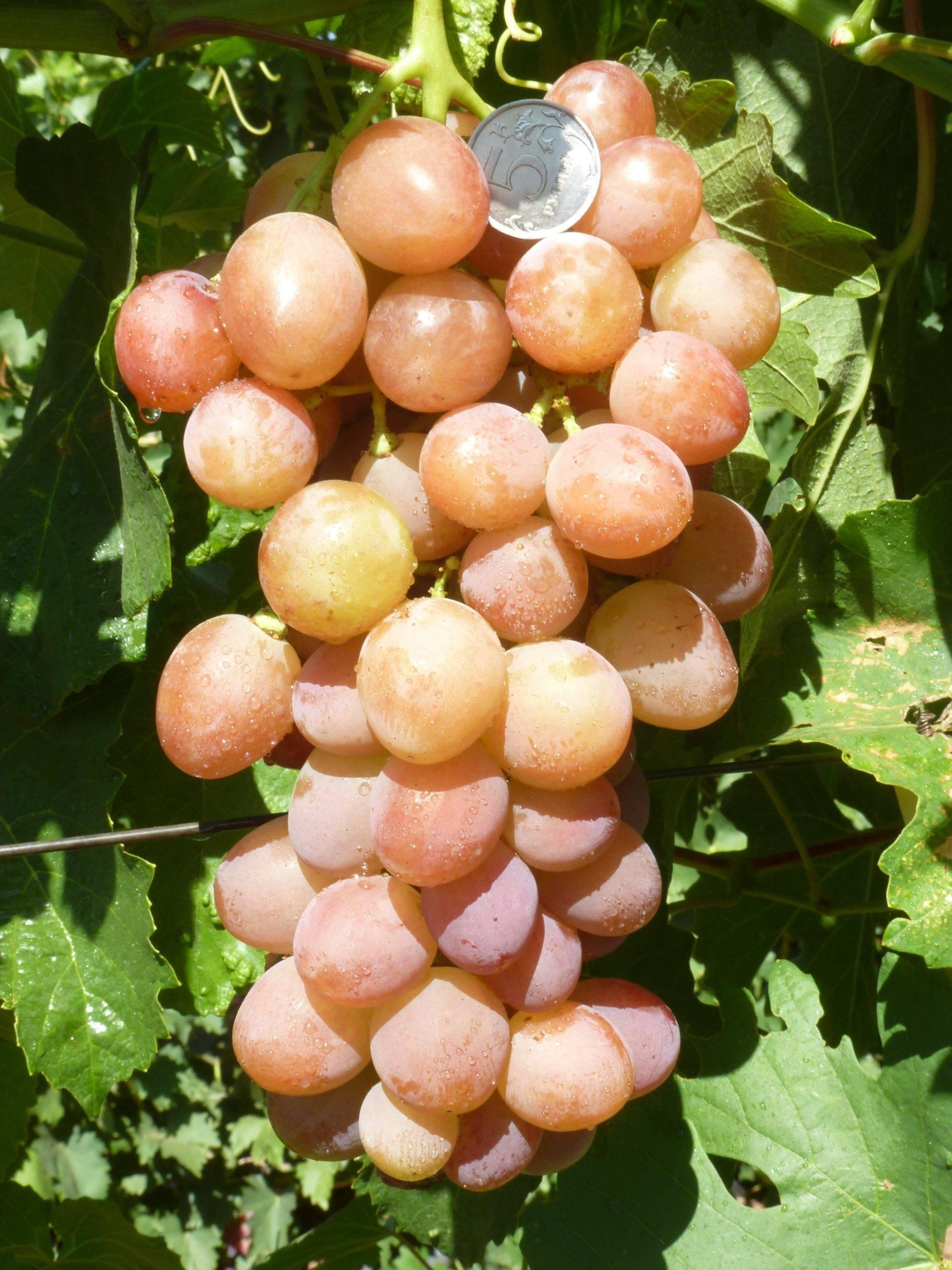Виноград красотка: описание, сереты выращивания, особенности