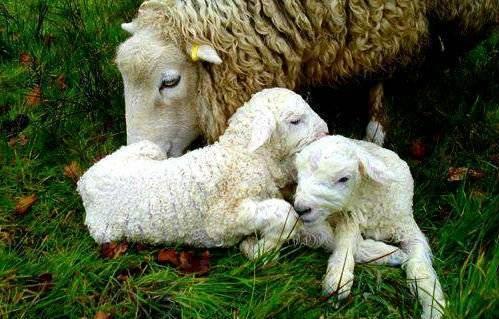 Окот овец: сколько длится вынашивание и процесс ягнения в домашних условиях