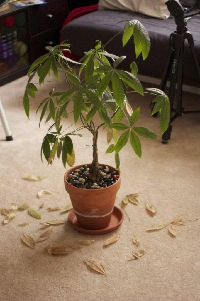 Очаровательное бутылочное дерево в комнатных условиях