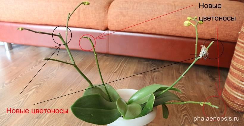 Фаленопсис отцвел, что делать дальше со стрелкой орхидеи в домашних условиях: подробное видео