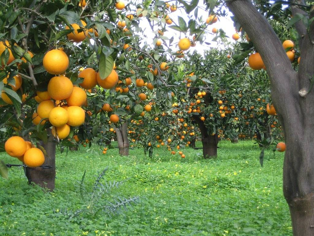 Где и как растут апельсины в россии и не только, как выглядит цветок + фото