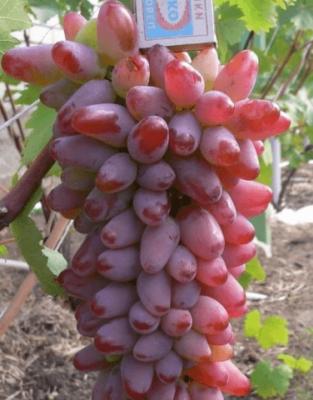 Виноград оригинал: описание сорта и характеристики, выращивание и урожайность