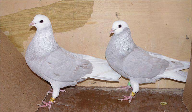 Высоколетные голуби: какие бывают, описание, породы