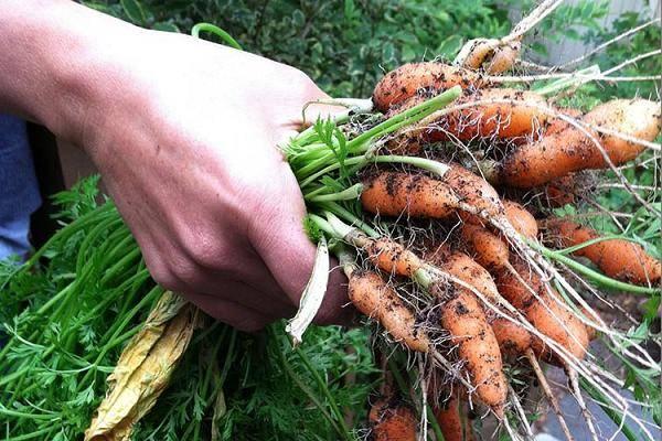 Как прореживать морковь