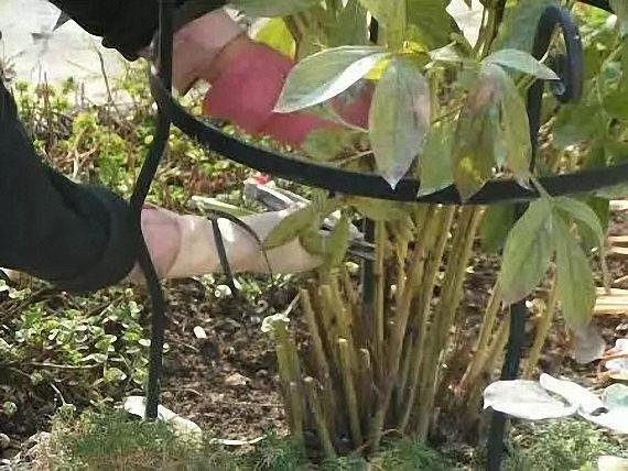 Когда обрезать пионы после цветения. когда обрезать на зиму