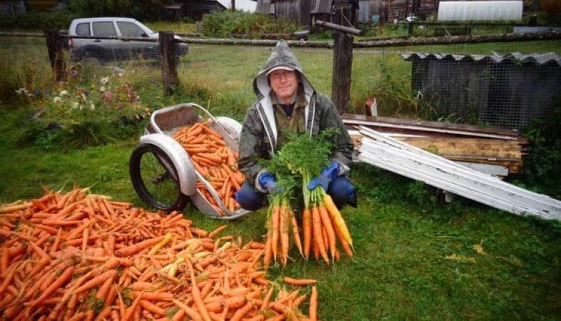 Подкормка моркови и свеклы в открытом грунте
