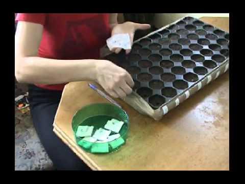Выращивание рассады томатов в домашних условиях из семян, фото и видео