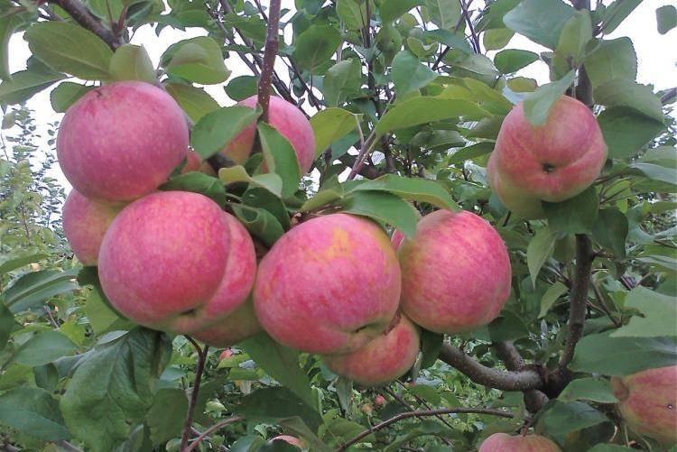 Ах, какое вкусное «мартовское» яблоко: описание сорта и его особенности