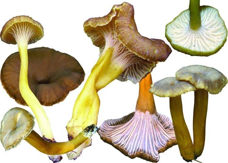 Описание грибов: съедобные грибы