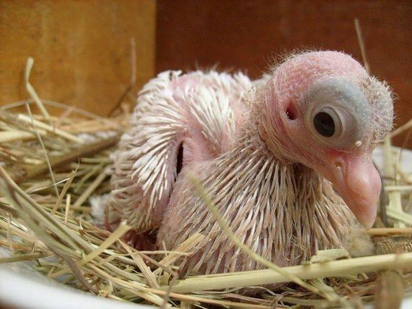 Чем нужно кормить птенца голубя в домашних условиях – общая информация