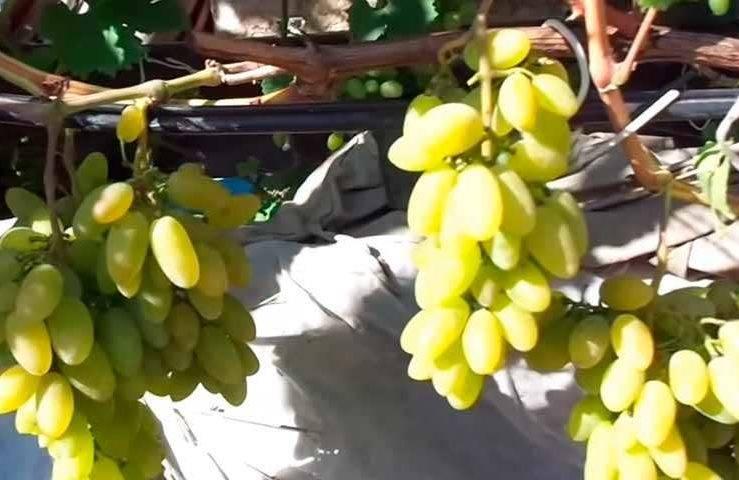 Виноград тимур: описание сорта, фото, отзывы, видео