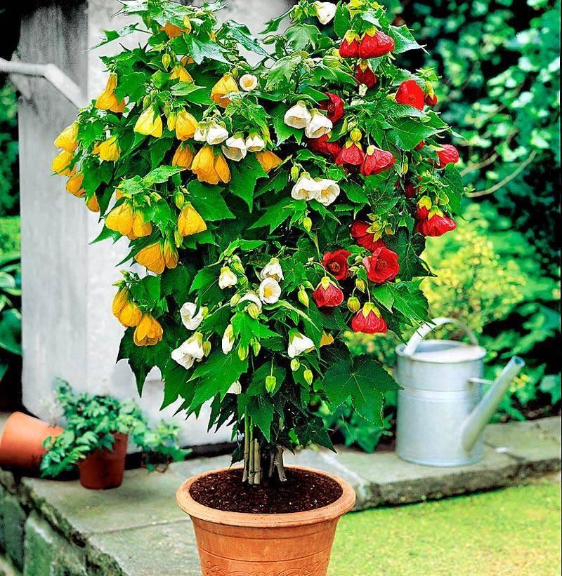 Абутилон (комнатный клен) - уход в домашних условиях за цветком, виды и сорта, нюансы выращивания