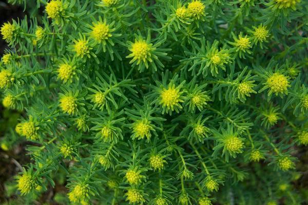 Птицемлечник (орнитогалум): описание, фото видов цветка, посадка, уход в открытом грунте