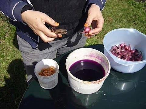 Обработка лука перед посадкой весной: чем обработать севок, в чем лучше замочить посадочный материал и как правильно замачивать в марганцовке
