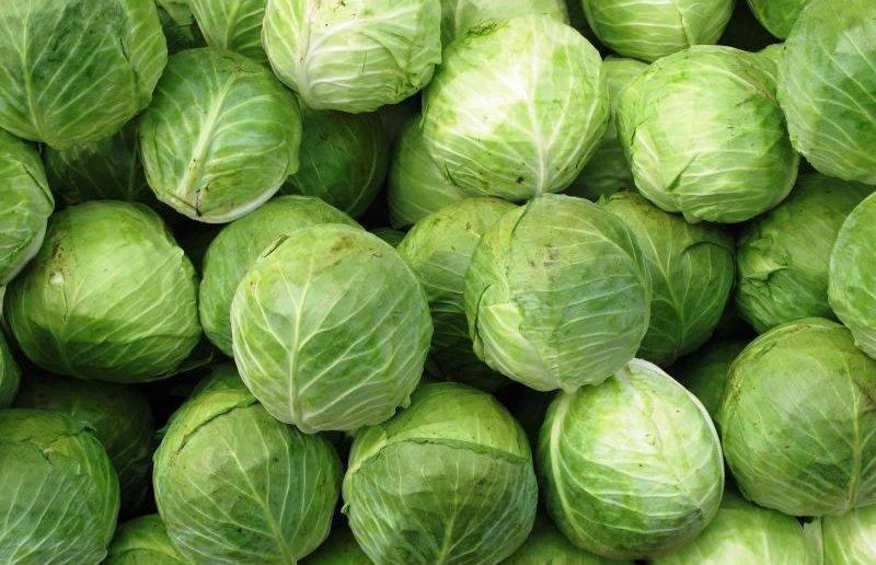 Белокочанная капуста: какие сорта посадить для заквашивания и длительного хранения